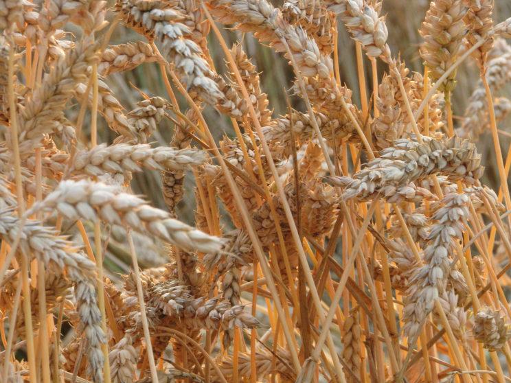 Weizen Getreide Regiothek