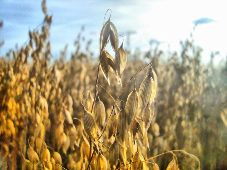 Hafer Getreide Regiothek