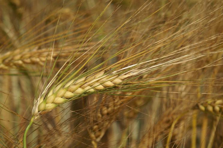 Gerste Getreide Regiothek