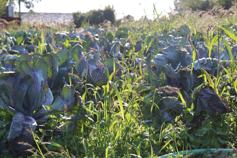Retten durch aufessen: Schwindende Vielfalt der Nutzpflanzen