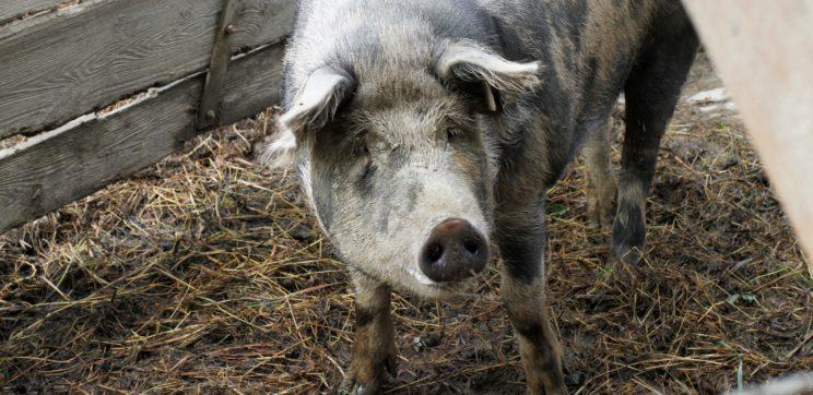 Schwein Nachbarhof Rottal