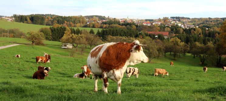 Kuh auf Weide in Niederbayern, Vegane Landwirtschaft Düngung ohne Vieh