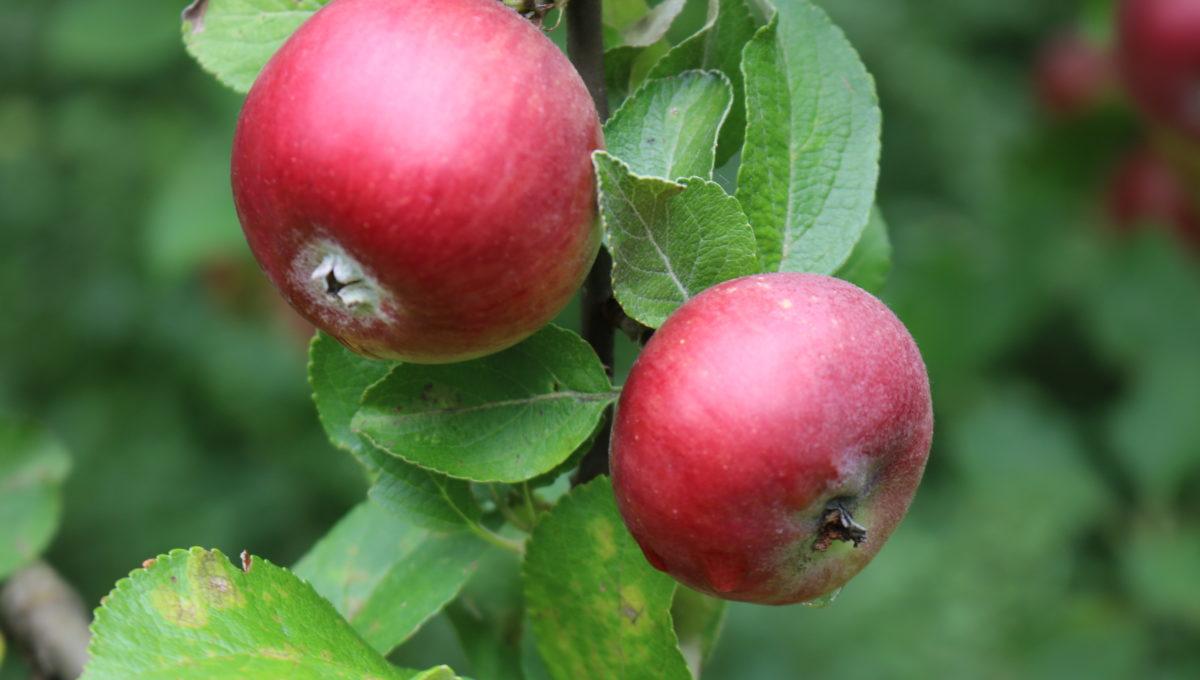 Apfel-Roter-von-Simonffi-regiothek