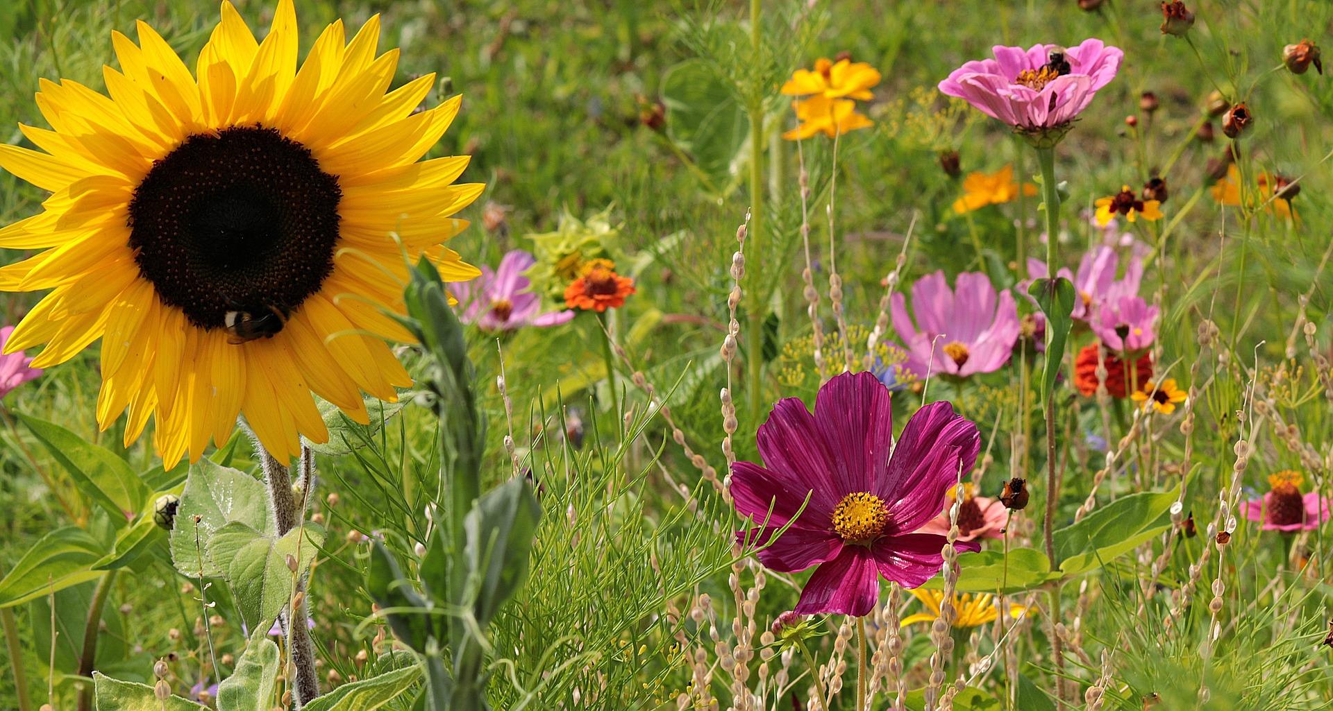 verschiedene wilde Blumen auf einer Wiese, auf denen Hummeln auf der Suche nach Futter sind.