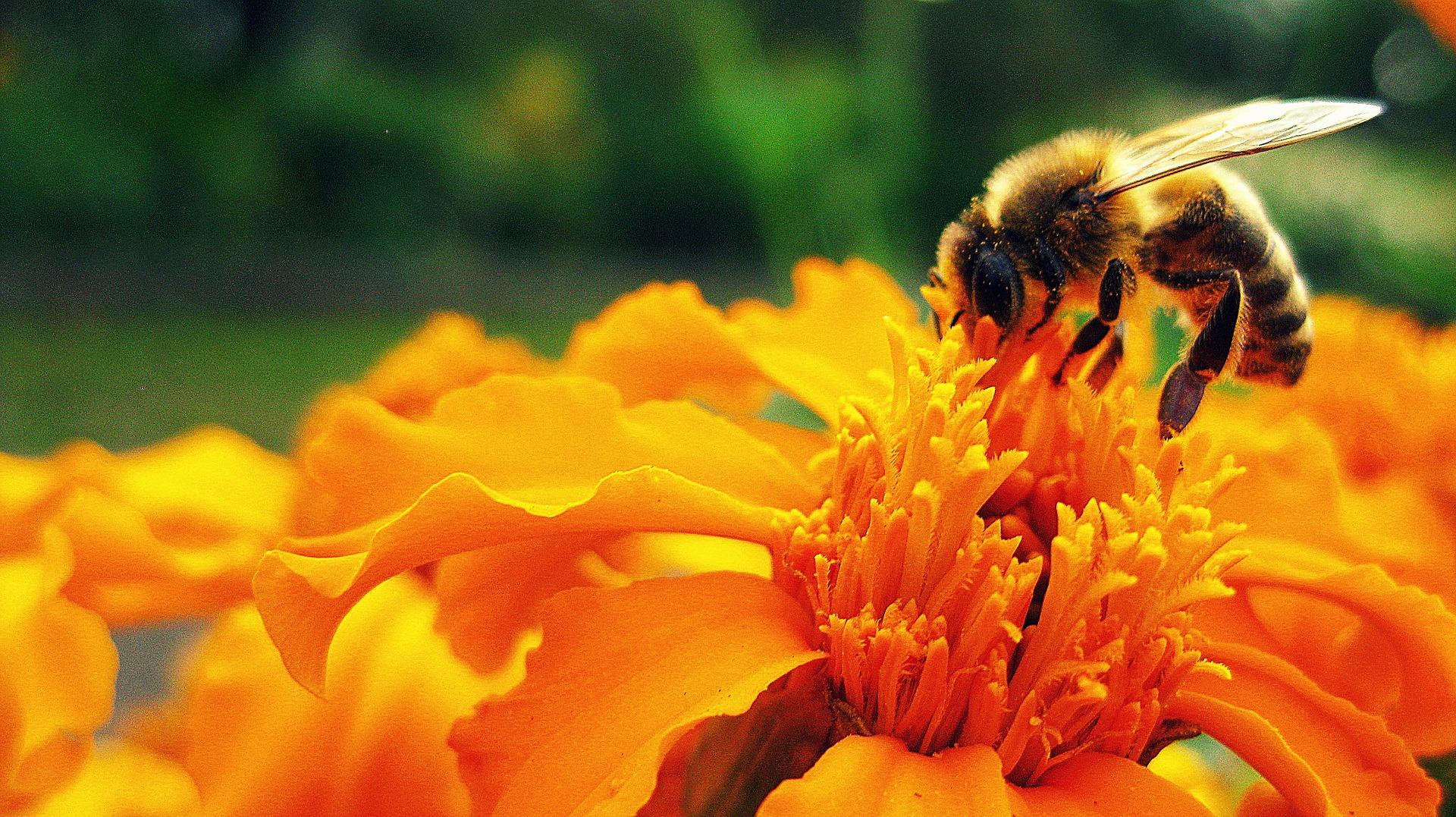 Nahaufnahme einer mit Pollen bedeckten Biene, die auf einer kräftig orangefarbenen Blüte sitzt.